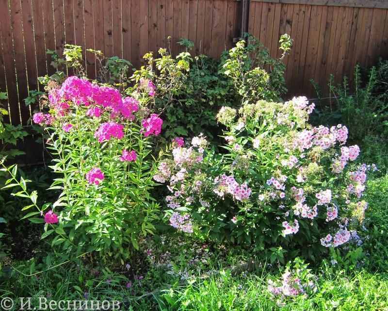 О том, как я выращиваю цветы на дачном участке - флоксы в частности
