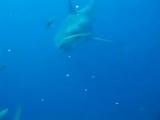 Самая+большая+белая+акула