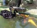 Черные лебеди кормят золотых рыбок