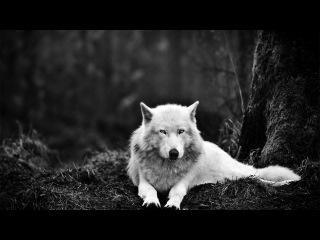Волки- прекрасные  создания!