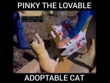 Pinky The Lovable, Adoptable Cat