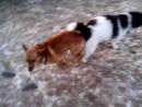 Собаки слиплись жопами