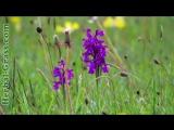 Орхидеи, виды орхидей - плотоядное растение хищник