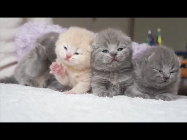 милые и пушистые котики котята породы Шотландская вислоухая кошка
