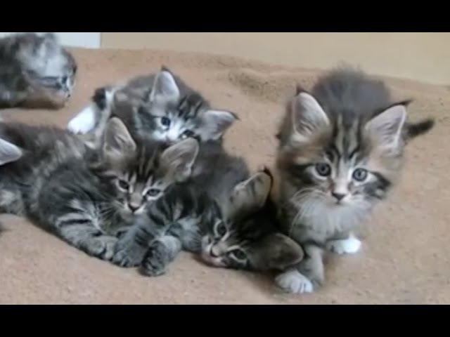 коты, котики и котята породы Мейн кун Maine Coon