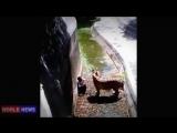 18 plus Тигр напал на человека! Tiger attacked man ЖЕСТЬ!!!   YouTube