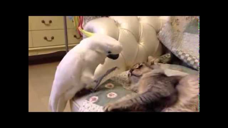 Попугай и кот Прикол