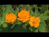 Сказочная тайга, Поля цветков Жарков, Сибирской орхидеи, Рыбалка,О хота, Тайга, Грибы