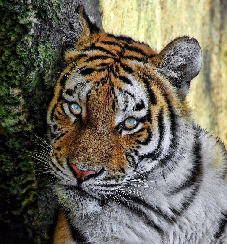 ppgHOHVxRcs - Фотографии тигров из кенийского заповедника