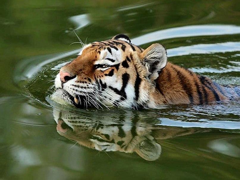 jqhIviH50bg - Фотографии тигров из кенийского заповедника