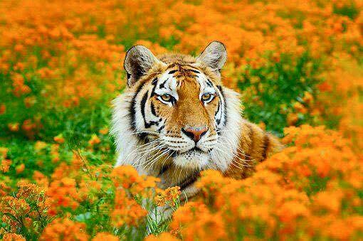 AI8EiXXRTZQ - Фотографии тигров из кенийского заповедника