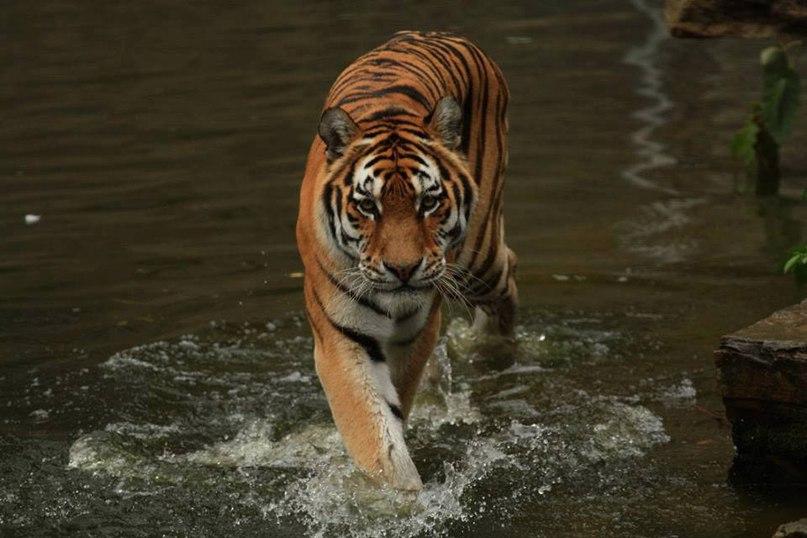 eXPqtd W7I - Фотографии тигров из кенийского заповедника