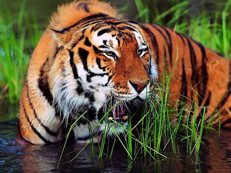 cEkKKhtcMk4 - Фотографии тигров из кенийского заповедника