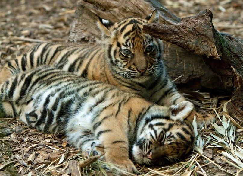 5AOzVLjFhJ0 - Фотографии тигров из кенийского заповедника
