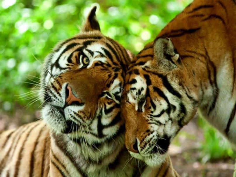 LjVVWltg74w - Фотографии тигров из кенийского заповедника