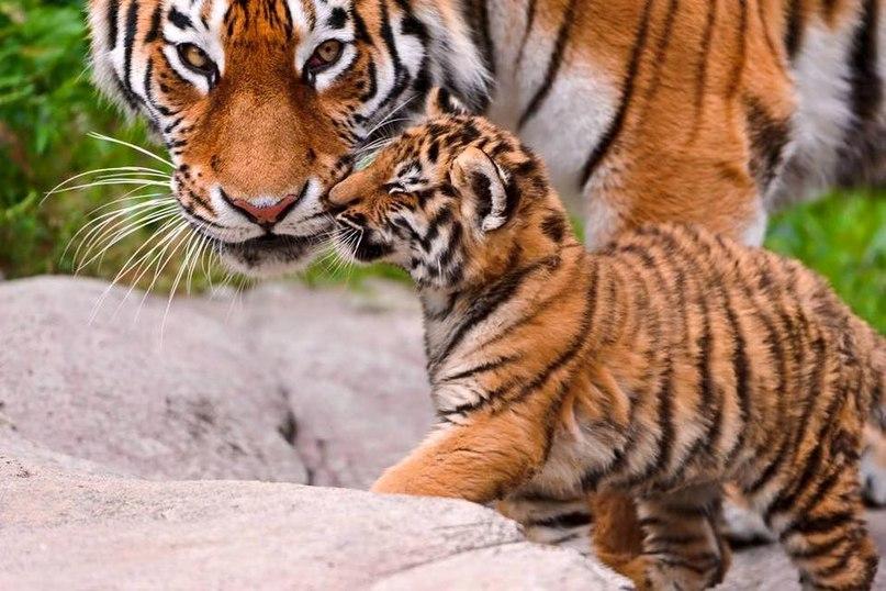 pRIDHbDk8Mo - Фотографии тигров из кенийского заповедника