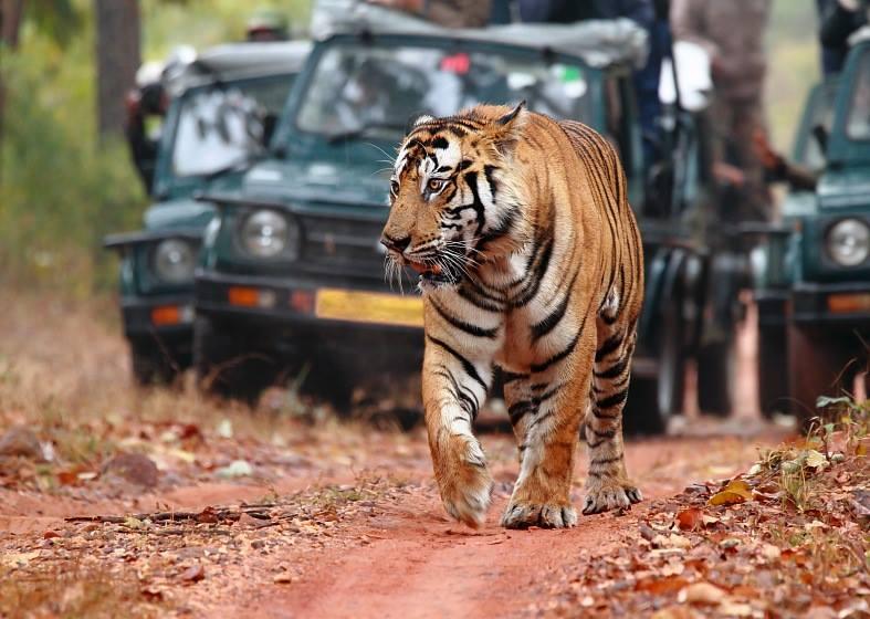 MDqiD2BCw k - Фотографии тигров из кенийского заповедника
