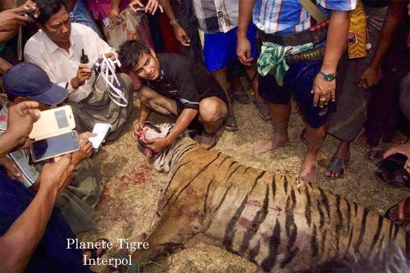 JlVk 3vSklw - Фотографии тигров из кенийского заповедника