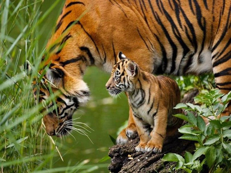 Yh4cXOOrfns - Фотографии тигров из кенийского заповедника