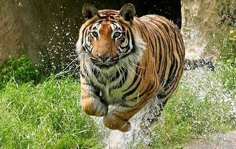azoH6rh ZIg - Фотографии тигров из кенийского заповедника