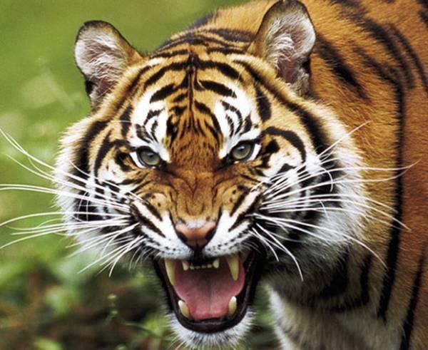 QQ2OVrChLgo - Фотографии тигров из кенийского заповедника