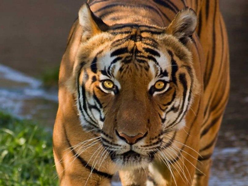 EX6rv27oLlY - Фотографии тигров из кенийского заповедника