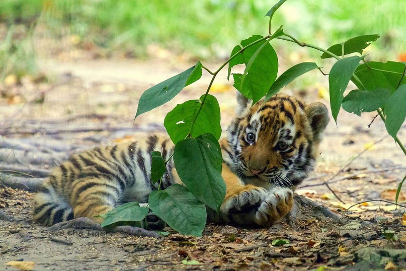 Tbi8vqY41Yc - Фотографии тигров из кенийского заповедника
