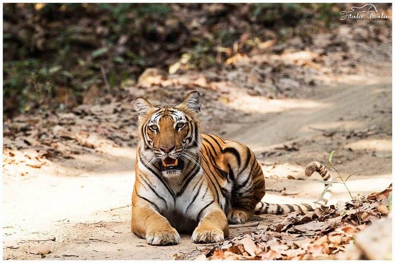 UJYtlhUx5U - Фотографии тигров из кенийского заповедника