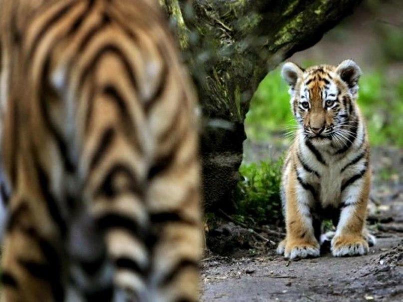 9MSVDUME334 - Фотографии тигров из кенийского заповедника