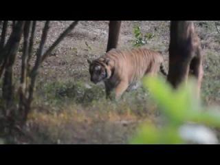 Тигр в живой природе (Tiger in wildlife)