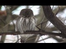 Glaucidium Passerinum Eurasian Pygmy Owl, воробьиный сыч Moscow