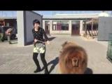 Тибетский Мастиф. Китай