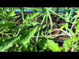 Выращивание помидор методом И.М. Маслова. http://globusbm.com/