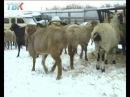 Овцеводы из Липецка надеются что год овцы станет для них успешным