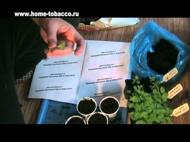 Урок №2 Пикирование рассады табака