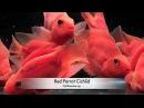 Red parrot cichlid Aquarium Tropical Fish