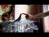 Злой попугай корелла нимфа Арина. Angry Parrot Corella nymph Arina