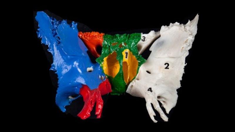 Анатомия клиновидной кости (краткая версия)