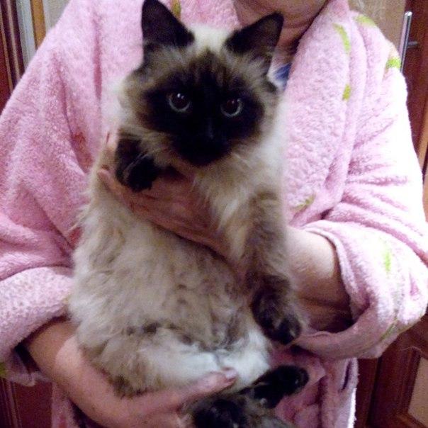 Нашлась кошка на АКЗ, ул Ростовская. Видно домашняя, ухоженная. Смесь сиамской и...