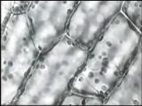 Влияние музыки на протоплазму растения