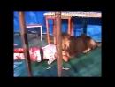 Иран, 2007. Лев атаковал мужчину в клетке. Льва застрелили, человека спасли.