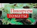 Пикируем томаты в стаканчики.(09.04.16)