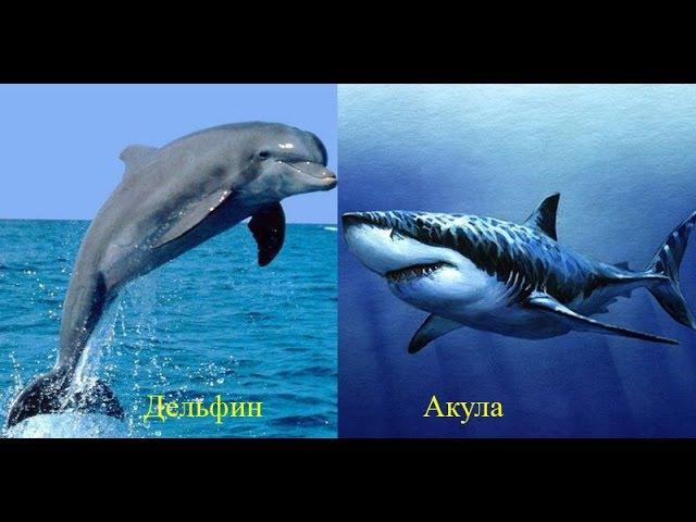 Дельфины против акул!
