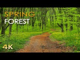 4K Spring Forest - Blackbird Song - Bird Singing Chirping - Ultra HD Relaxing Nature Video &amp Sounds
