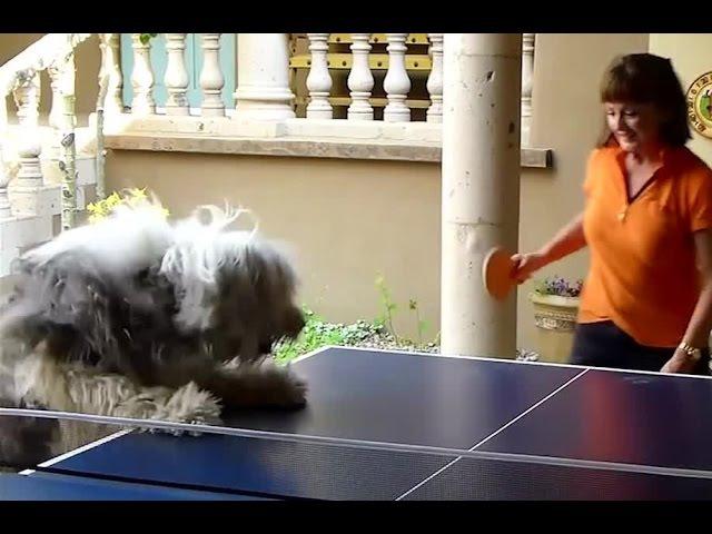 Смешные СОБАКИ ИГРАЮТ в ПИНГ ПОНГ Funny DOGS playing ping pong