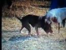 Собачьи бои американский бульдог Рокки 15 мес vs питбуль 2.5 года ч.1