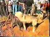 Собачьи бои кавказский волкодав Борзик vs неаполитанский мастифф Тайсон
