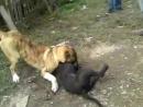 Собачьи бои волкодав vs питбуль