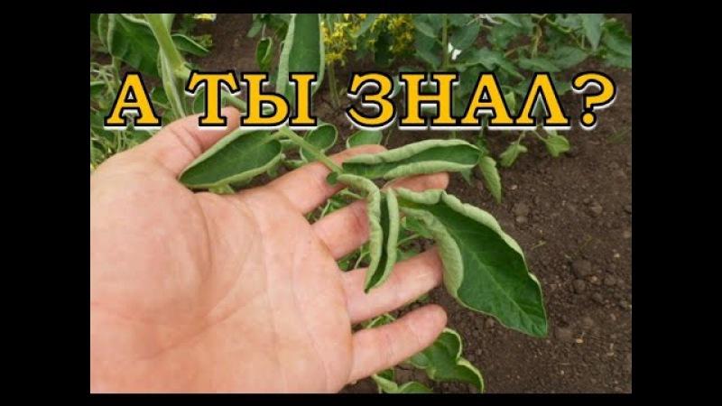 Почему скручиваются листья томатов