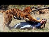 Нападения животных на человека 18+. Animals attack. Подборка видео 2016